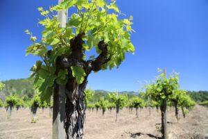 Tofanelli-Vineyard-Calistoga (5)