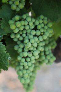 Varozza-Vineyard (1)