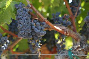 Varozza-Vineyard