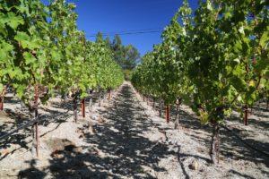 Vineyard-7-8-Spring-Mountain (15)