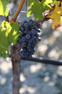 Vineyard-7-8-Spring-Mountain (20)