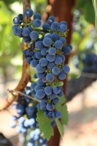 grapes-cab (10)