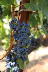grapes-cab (11)