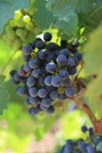 grapes-cab (20)