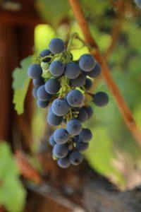 grapes-cab (25)
