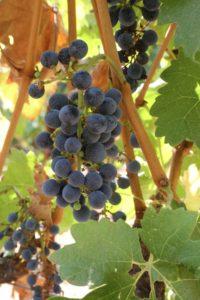 grapes-cab (48)