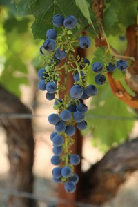 grapes-cab (5)