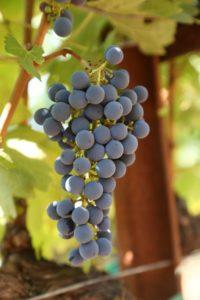 grapes-cab (56)
