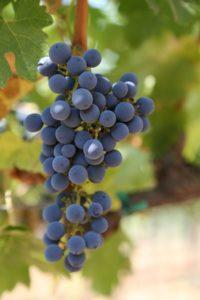grapes-cab (59)