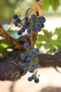 grapes-cab (6)