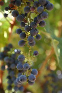 grapes-cab (73)