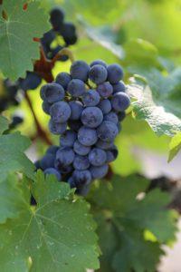 grapes-napa (10)