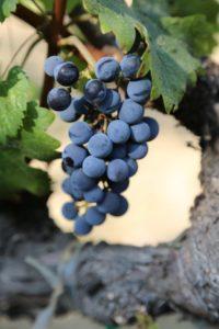grapes-napa (13)