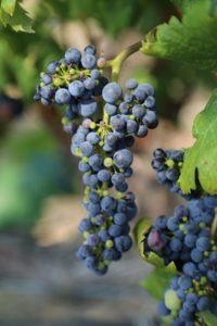 grapes-napa (2)