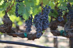 grapes-napa (38)