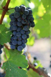 grapes-napa (40)