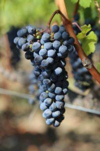 grapes-napa (4)