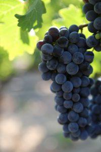 grapes-napa (47)