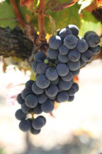 napa-grapes (124)