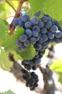 napa-grapes (144)