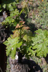 older-grapes (1)