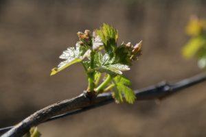 budding-vine