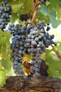 Trotter-Wines-1-16th-Harvest-Coombsville (1)