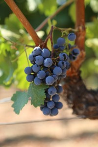 grapes-cab (16)