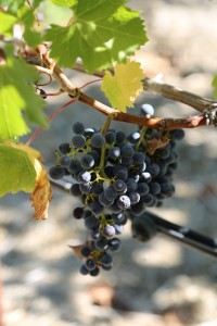 grapes-napa