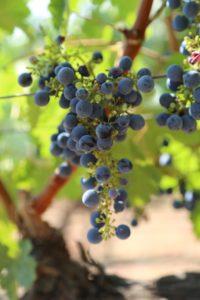 grapes-cab (13)