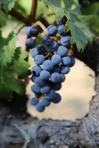 grapes-napa (14)