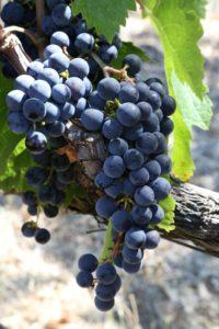 napa-grapes (28)