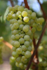 Napa-Grapes (9)