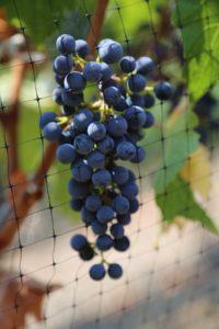 Knighton-Family-Vineyard (10)