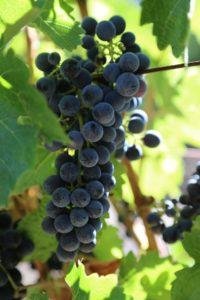 luscher-ballard-vineyard (5)