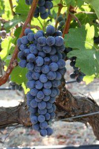 grapes-napa (41)