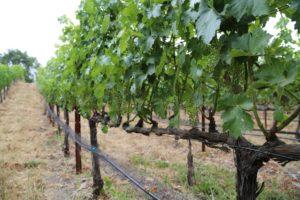 Toivola-Vineyards (3)